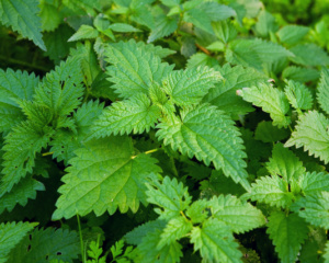 Stinging nettle or common nettle, Urtica dioica, perennial flowering plant